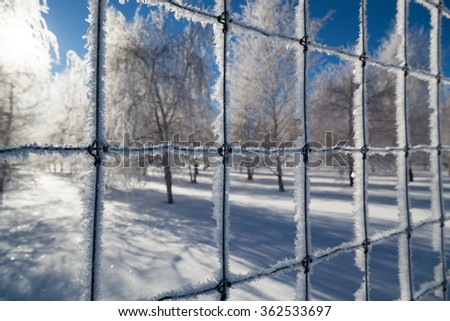 Delicate growth of ice crystals coat a wire fence that is around a birch tree farm with bright sunshine and blue sky. - stock photo
