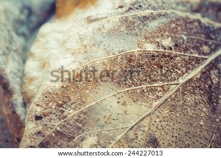 Delicate leaf skeleton macro close up. - stock photo