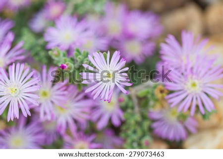 Delicate Lilac rockey flower, Spain, Andlaucia, - stock photo