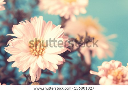delicate pale pink asters - stock photo
