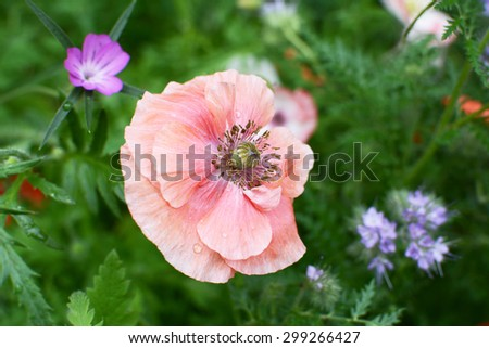 Delicate pale pink field poppy with drops of rain on the petals in a meadow, with corn cockle and phacelia blooms beyond - stock photo