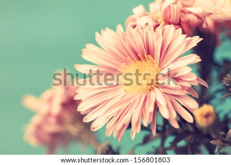 delicate pale pink vintage asters - stock photo