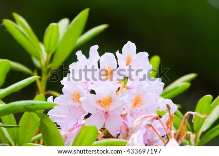 delicate pink buds of rhododendrons on a dark background - stock photo