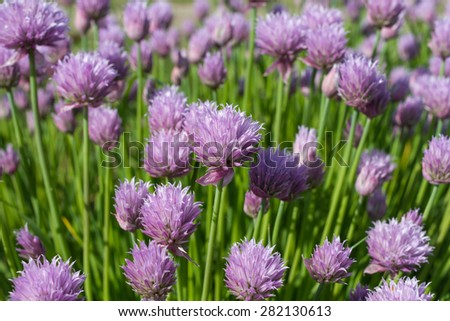 Delicate pink flowers in spring sunny day. - stock photo
