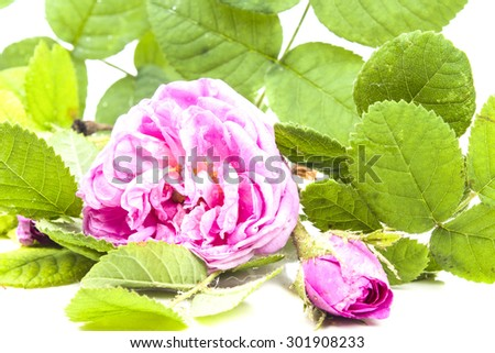Delicate pink flowers of wild rose - stock photo