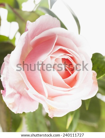 Delicate pink rose in strict close up - stock photo