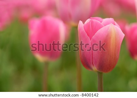 Delicate pink tulips in a field - stock photo