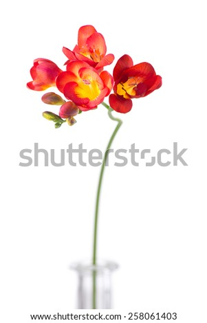 Delicate red freesia blossom on white background. - stock photo