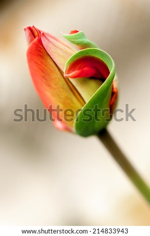 Delicate red tulip bud outdoors, shallow DOF. - stock photo