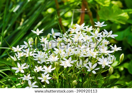 delicate white flowers are blooming, spring is time - stock photo