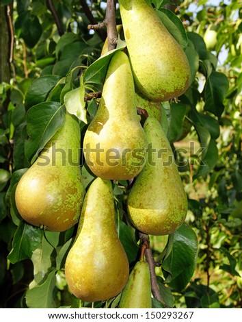 Delicious Pears - stock photo