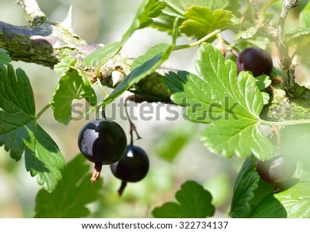 Deliciously sweet, ripe black gooseberries growing on the bush (Ribes grossularia black cultivar).  - stock photo