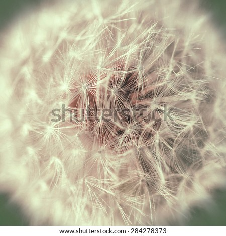 Deligate background of dandelion flower, extreme closeup - stock photo