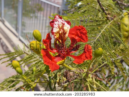 Delonix regia blossom - stock photo