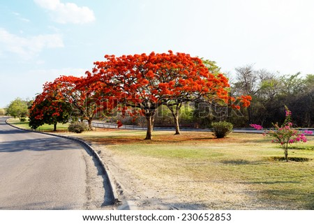 Delonix Regia (Flamboyant) tree with blue sky and road - stock photo