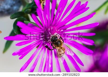 Delosperma Flower Purple Cooper's Ice Plant. Bee on a plant flower close up - stock photo