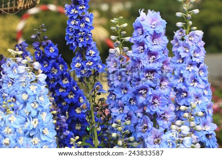 Delphinium,Candle Delphinium,many beautiful purple and blue flowers blooming in the garden,English Larkspur,Tall Larkspur - stock photo