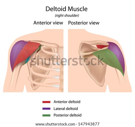 Deltoid muscle, color coded  - stock photo