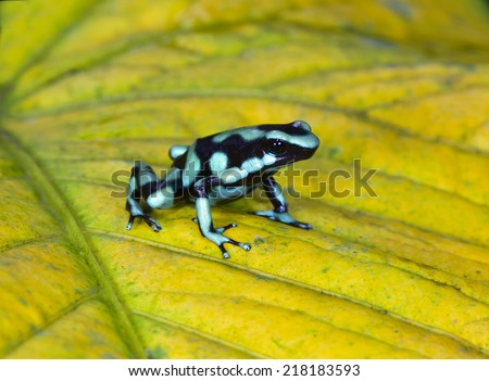 Dendrobates auratus aka green & black poison dart frog or poison arrow frog. sarapiqui, costa rica - stock photo