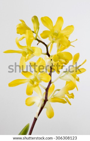 Dendrobium orchid yellow in the nature - stock photo