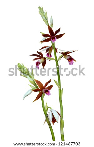 Dendrobium orchids Prao (Phaius tankervilleae)  isolated on white background - stock photo