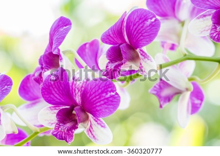 Dendrobium sonia orchid, purple orchid in a garden. - stock photo