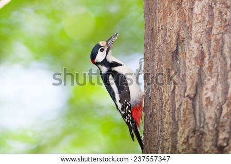 Dendrocopos major. Great Spotted Woodpecker is in Timiryazev Park in hollows with chicks. - stock photo