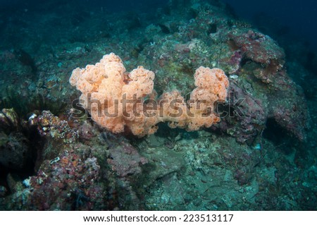 Dendronephthya hemprichi soft coral - stock photo