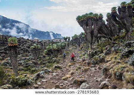 Dendrosenecio (Giant groundsel) on the way to Mt.Kilimanjaro - stock photo