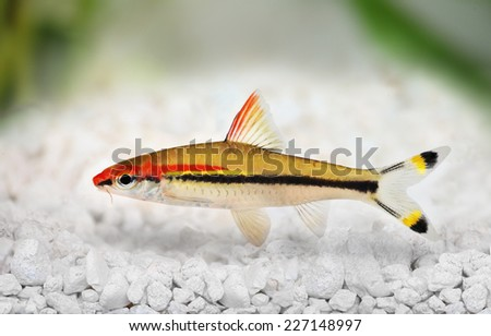 Denison's barb Roseline Shark Sahyadria denisonii red-line torpedo barb aquarium fish  - stock photo