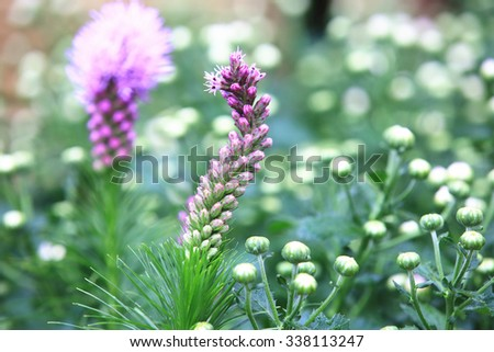 Dense Blazing Star,beautiful purple flowers blooming in the garden in autumn,closeup,Spiked Gay feather,Button Snake-root  - stock photo