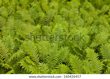 Dense colony of ostrich fern  Matteuccia struthiopteris  or shuttlecock fern nature background pattern texture - stock photo