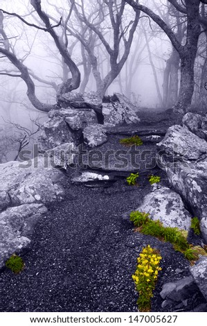 Dense fog and spring flowers on the Betty's Rock Trail in Shenandoah National Park, Virginia. - stock photo