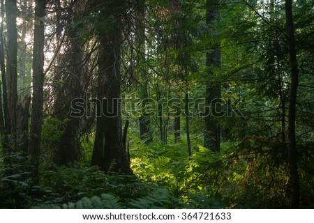 Dense forest - stock photo