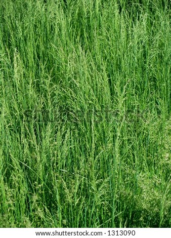 Dense, lush green grass gone to seed in the springtime. - stock photo