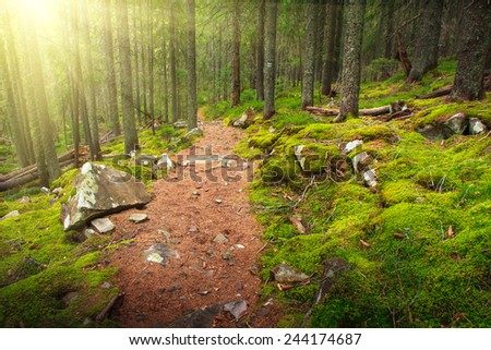 Dense mountain forest and trees with moss in magic light. Filtered image: colorful effect.  - stock photo