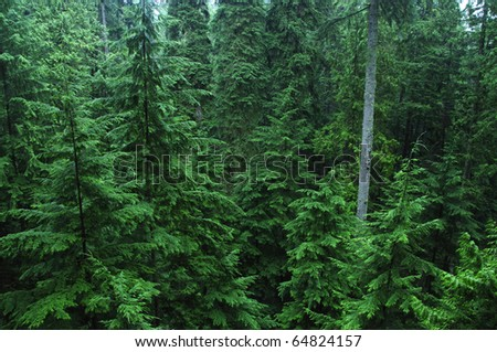 Dense northwest Canadian rain forest - stock photo