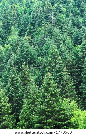Dense pine forest - stock photo