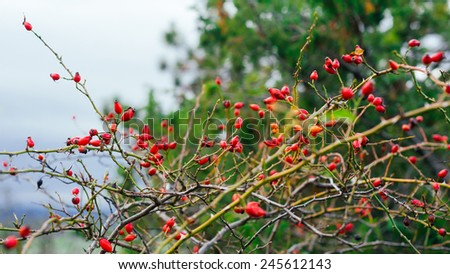 Dense rosehip bush with many tender ripe red berries on blurred trees bokeh background - stock photo