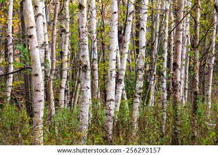 Dense stand of birch trees in early fall, Minnewaska State Park, New York - stock photo