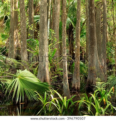 Dense thicket of Bald Cypress and Sabal Palm in Florida Everglades - stock photo