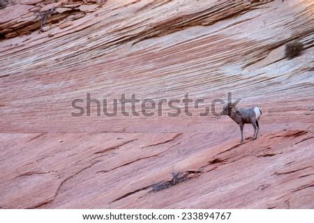 Desert Big Horn Sheep on red rocks near Zion National Park, Utah - stock photo