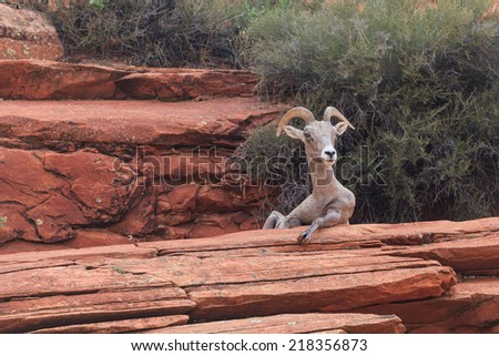 Desert Bighorn Sheep in Zion National Park - stock photo