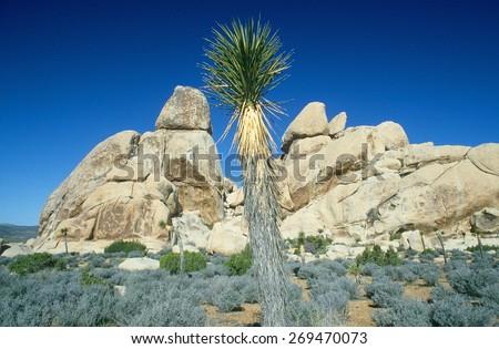 Desert blooming in spring, Joshua Tree National Park, California - stock photo