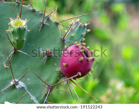 Desert Cactus with fruits - stock photo