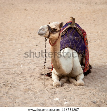 Desert camel, Cairo, Egypt. The paler camels, or white camel are more valuable and more revered by their Bedouin owners. - stock photo