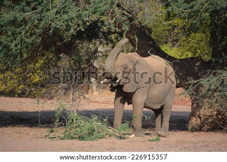 Desert elephants are not a distinct species of elephant but are African bush elephants (Loxodonta africana) that have made their homes in the Namib and Sahara deserts. soft focus - stock photo