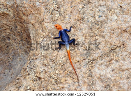 Desert scene with a colorful lizard sunbathing on a rock. Namibia - stock photo