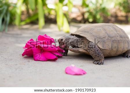 Desert Tortoise eating  - stock photo
