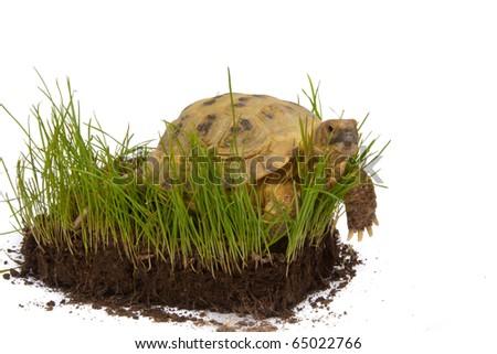 desert tortoise on the green grass isolated on white - stock photo